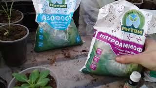 видео Подкормка петуний для обильного цветения