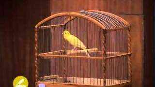 russian canary from kuwait 99402246