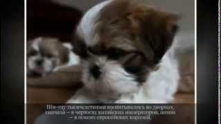 Маленькие породы собак ШИ ТЦУ