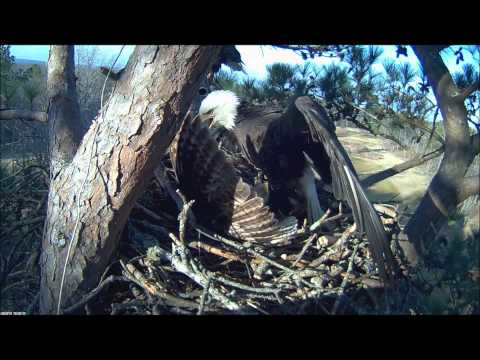 Bald Eagle Attacks Owl for trying to take over nest