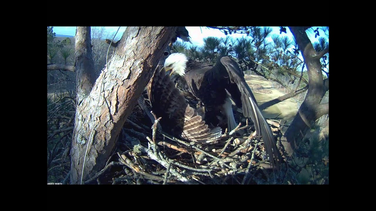 Bald Eagle Attacks Owl for trying to take over nest - YouTube