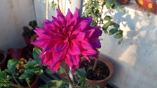 Download Video Dahlia Plant Care // डेहलिया की देखभाल MP3 3GP MP4
