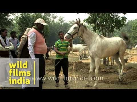 High breed horses for sale at Sonepur fair