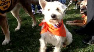For Adoption: Mogli, The Mini Schnauzer/westie