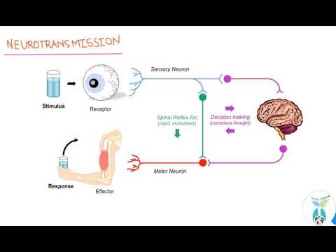 The Brain How Neurotransmission Works (Hindi) Synapses!: Simple Science_A&P