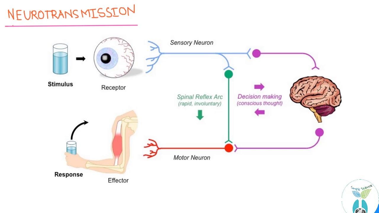 The brain how neurotransmission works hindi synapses simple the brain how neurotransmission works hindi synapses simple scienceap ccuart Gallery