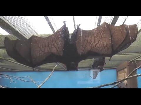 HUGE African Fruit Bat does NOT like camera