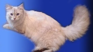 Сибирская кошка Umeima (Умка). Светлана Алтаф