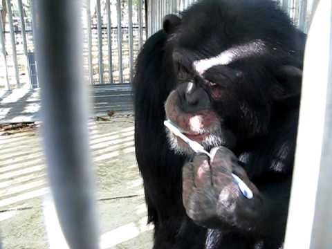 AMAZING CHIMPS BRUSHING THEIR OWN TEETH!