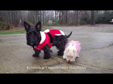 (Scottish Terrier) Kimberly and Khloe's transition from puppies to adults