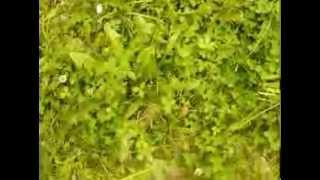 http://www.mathstrength.com- Papadia  -Planta medicinala -Farmacia naturii