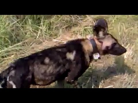 Kruger Sightings - Wild Dogs - 25 February 2012