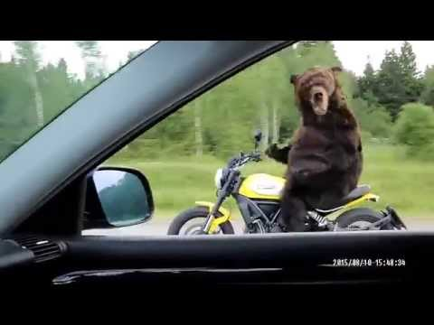 Crazy russian bear drive motorbike (meanwhile in Russia)
