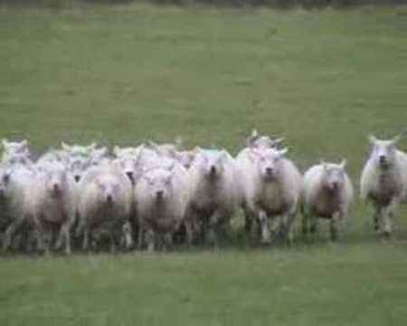 The Working Sheepdog ( Border Collies ) in training
