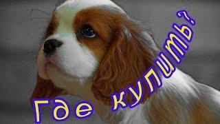 Щенки кавалер кинг чарльз спаниеля - Как и где купить щенка кавалер кинг чарльз спаниеля