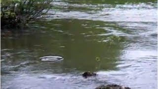 Pêche à la mouche gobage de belle truite
