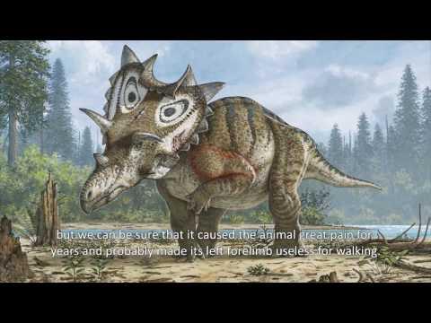 A Long, Hard Life for Judith the Horned Dinosaur