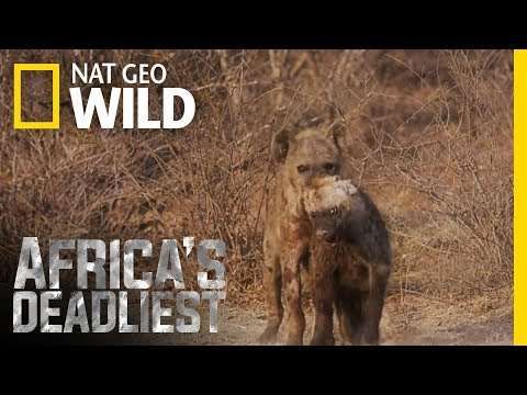Hyena Hazing   Africa