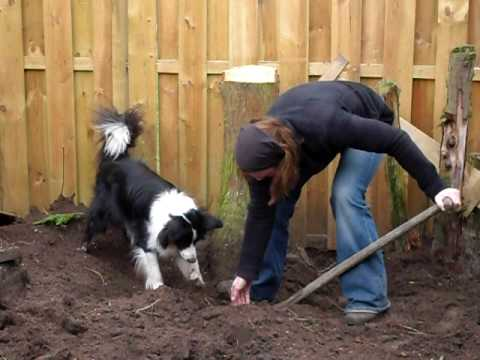 Border Colie helping to dig out tree