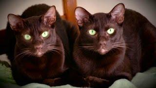 Гавана Кошка, Породы кошек, описание породы