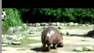 Farting Hippo (SO FUNNY)