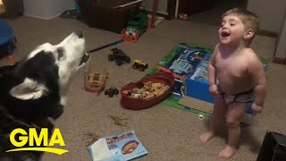 Toddler laughs as he and husky howl together l GMA Digital