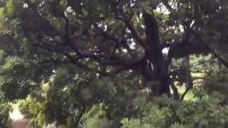 山桃(ヤマモモ)の木 Wax myrtle, Bayberry  (Healing video)