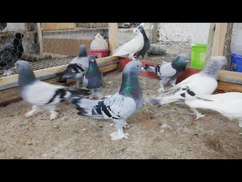 Güçlü Kadro.Gücü Hisset.14Taklacı1000 Puan. 545.550.01.92 Darıca. Strong Pigeon. Turkish Tumbler