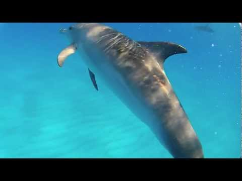 Dolphins of Little Bahama Bank