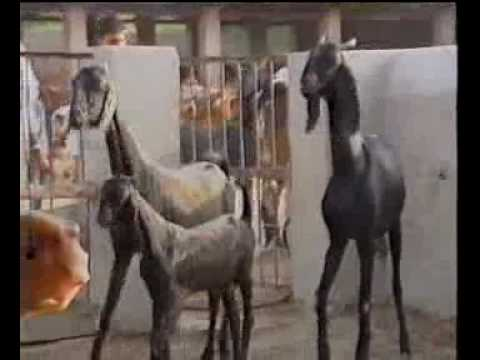 Livestock model farm Punjab Pakistan part-2 Dr Ashraf Sahibzada
