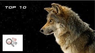 Top 10 zanimljivosti i cinjenica o vukovima