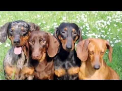 Conosciamo i cani bassotto youtube for I cani youtube