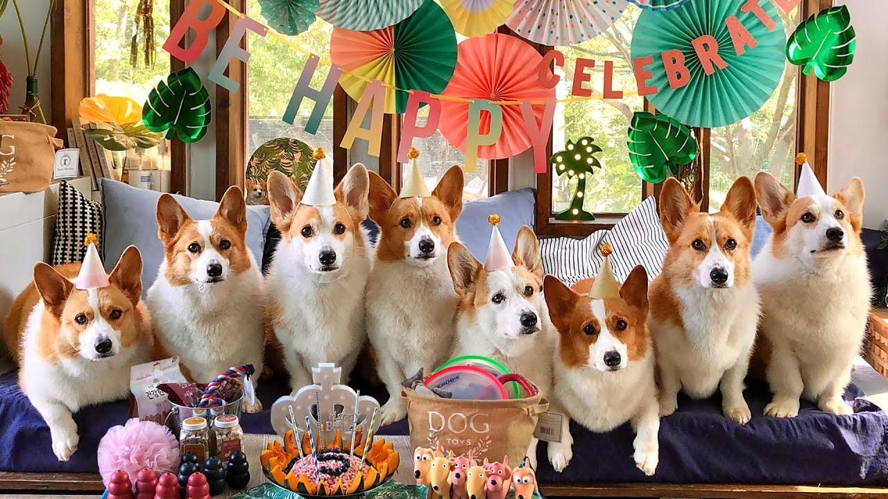 6코기의 다섯번째 생일파티에 초대합니다!  l 6CORGIS' 5th BIRTHDAY PARTY!!