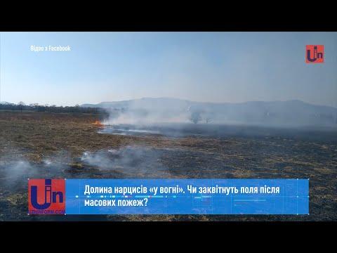 Долина нарцисів «у вогні». Чи заквітнуть поля після масових пожеж?