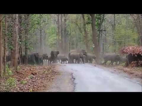 Elephant Suddenly Appeared in Jungle of  Korba { C.G., INDIA}