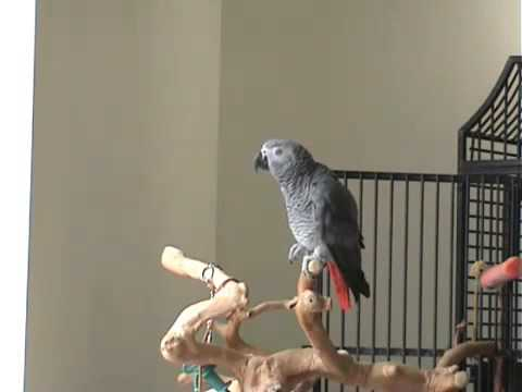 Parrot Whistles Famous Song!