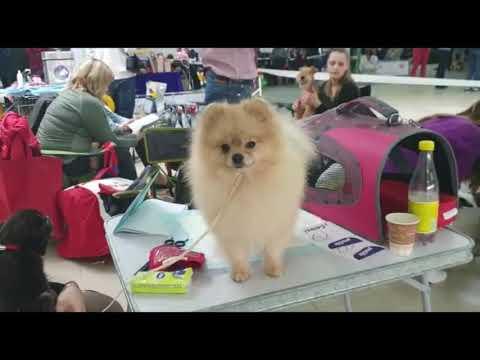 Как записать собаку на выставку и что там делать? Выставка собак ЧИХУАХУА ШПИЦ...