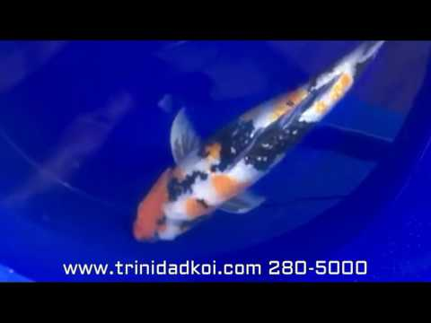Trinidad Koi- Living Jewels Farm- Gin Rin Showa Shinoda