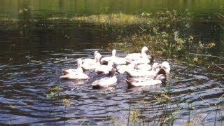 Domestic Duck Breeds - Welsh Harlequin Ducks