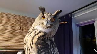 Spinning a chubby Hoothoot. Eagle owl on a merry-go-round