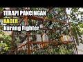 Kacer Muda Gacor Buka Ekor Cocok Untuk Pancingan Kacer Kurang Fighter Kicaumania Kacer  Mp3 - Mp4 Download