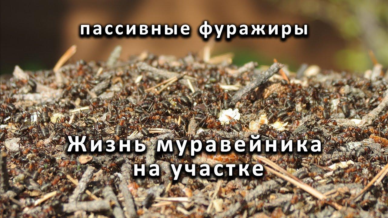 чем питается муравей