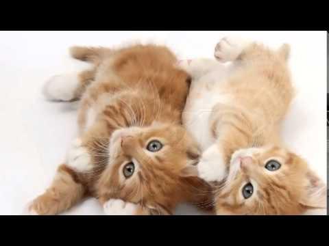 Песенка о двух котах
