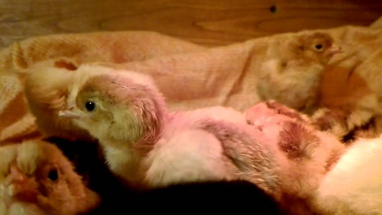 Наше предприятие занимаемся реализацией инкубационного яйца, суточных цыплят и ремонтного молодняка кур-несушек доминант. Ведется.