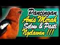Anis Merah Susah Ngeplong Hitungan Menit Burung Akan Terpancing Ikut Nyaut Bunyi Part   Mp3 - Mp4 Download
