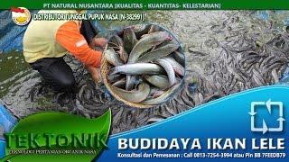 Rahasia Budidaya ikan lele sangkuriang ,masamo,dumbo dan afrika panen cepat besar 40hari