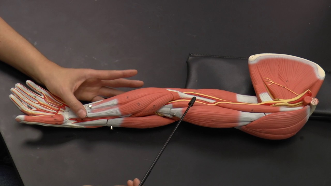 Arm Muscles Anterior