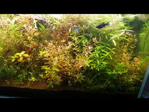 zakwit Heteranthera zosterifolia
