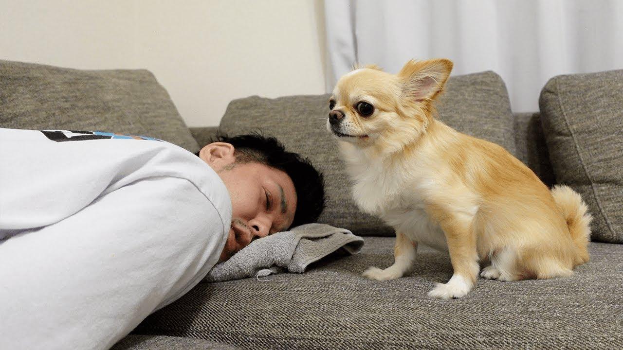 チワワ犬がなかなか起きない飼い主に呆れて唖然とする姿がこちらですwww