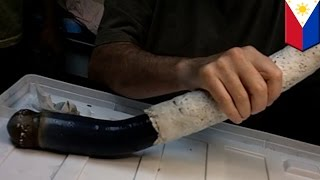 sea creature slimy alien like giant shipworm discovered in the philippines tomonews